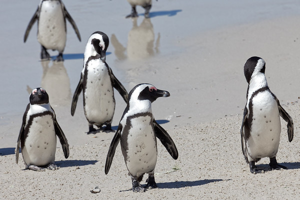 African, or Jackass, penguins at Boulders Beach near Simonstownc