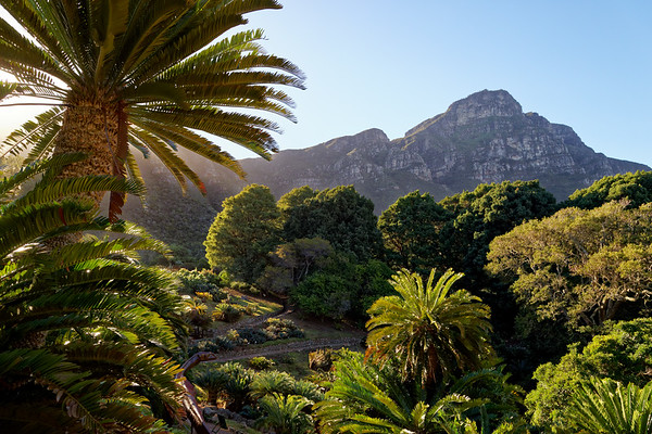 Dinosaur among cycads in Kirstenbosch Botanical Gardens, drawing attention to the danger of extinction of cycads which were around with the dinosaurs and which might go the same way. Sculptures by David Huni.