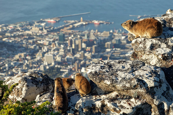 A dassie family, or rock hyrax,  look out over their domain on Table Mountain