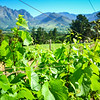 Wine estates of Franschhoek