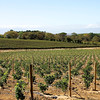 New vineyards at the Groot Constantia winery.