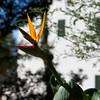 Bird of Paridise in bloom at Groote Constantia.