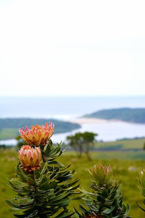 Wild proteas in bloom