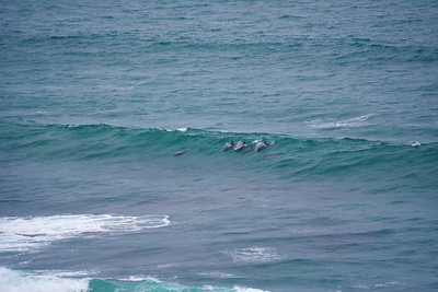Dolphins surfing the wave