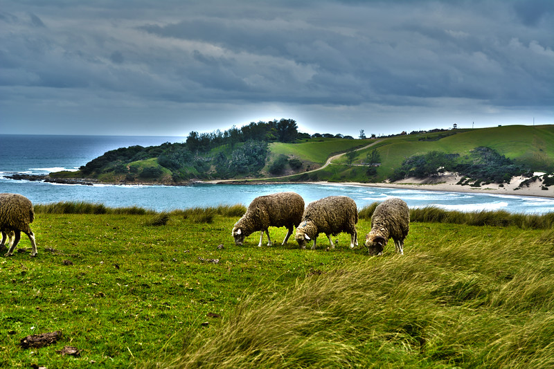 Transkei Sheep