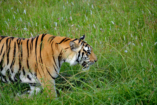 Bengal tiger in the grass