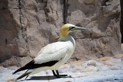 Striking gannet