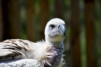 Shy cape vulture