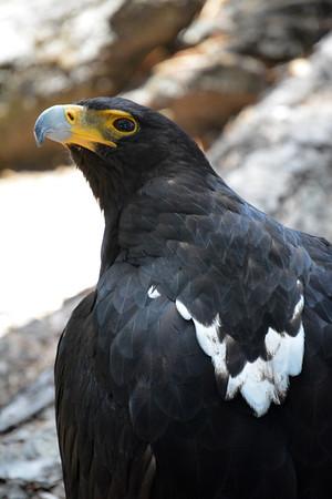 African Black Eagle