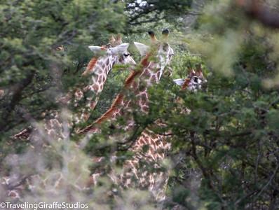 Giraffes - Kruger National Park