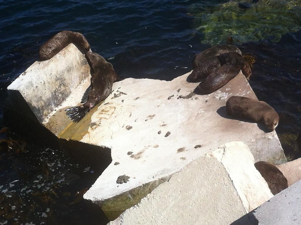 Seals sunbathing the Hermanus Harbour concrete block defenses