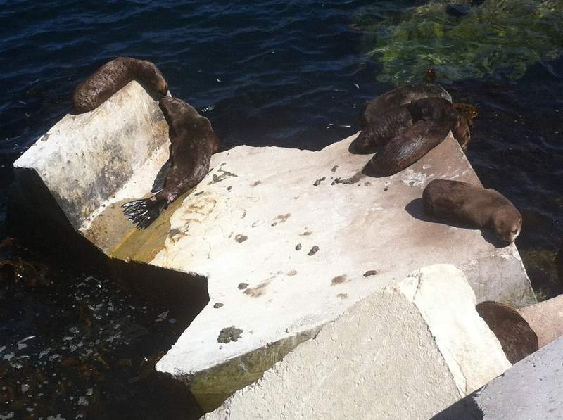 Seals sunbathing the Hermanus Harbour concrete block defenses