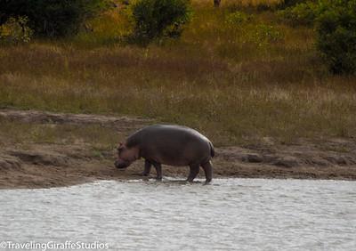 Hippo - Kruger National Park