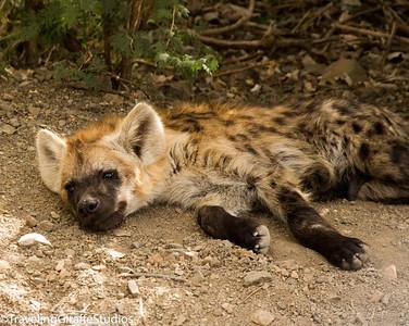 Hyena - Kruger National Park
