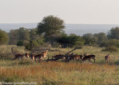 Impala - Kruger National park