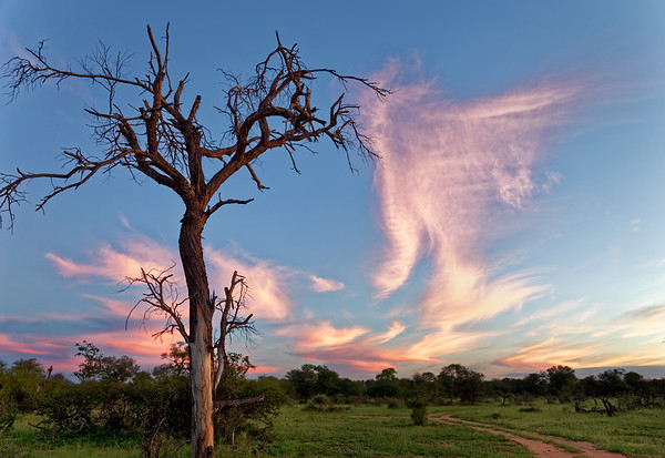 Dusk in the Klasserie reserve in the Greater Kruger National Park, with a skeleton tree, destroyed by elephants