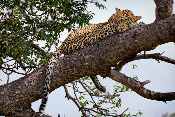 Leopard asleep in a tree where it had dragged its prey, a small steenbuck, Greater Kruger National Park