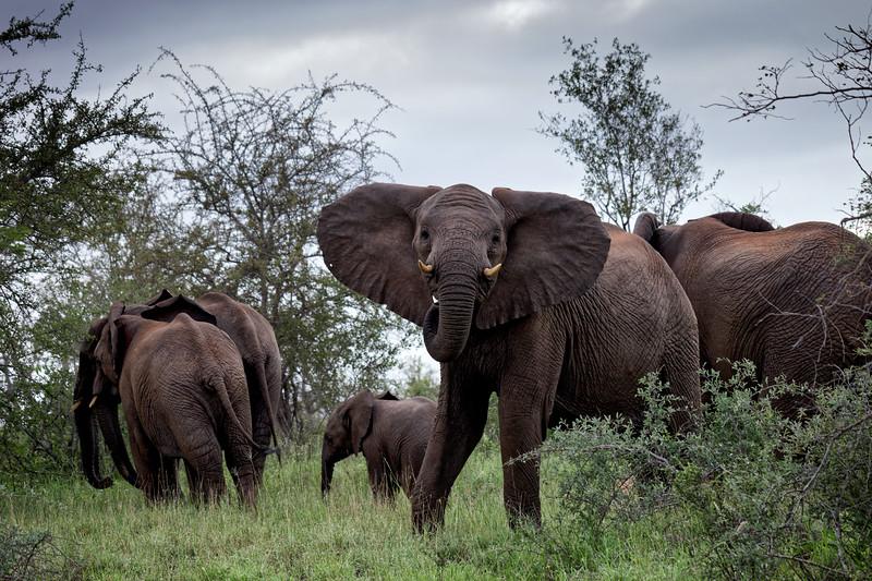 Elephant gives a warning, Greater Kruger National Park