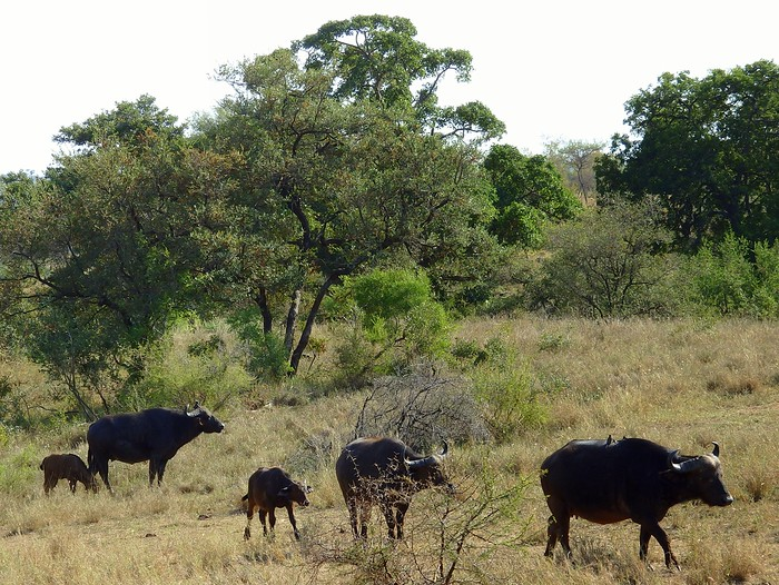 Water buffalo in Kruger