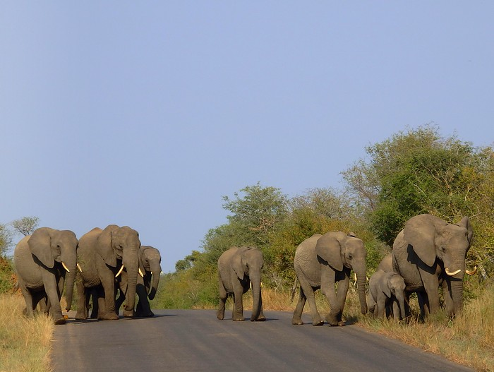 A herd of elephants crossing the road during our safari in South Africa
