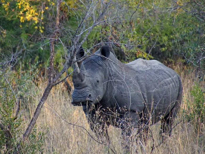 Seeing a white rhino while on safari in South Africa
