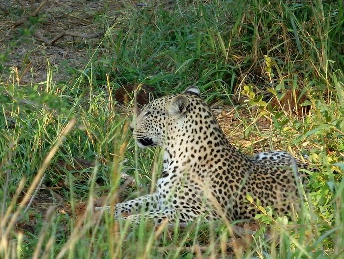 Seeing a leopard at Kruger National Park