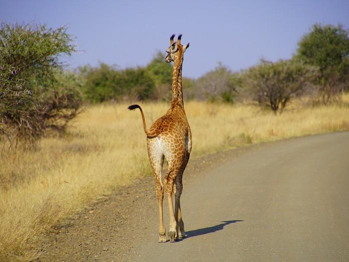 Giraffe strutting its stuff.