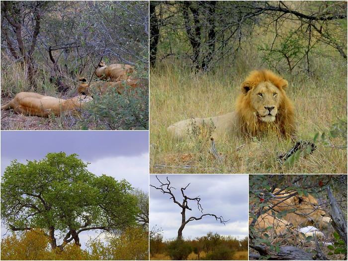 Pride of lions on safari in Kruger National Park