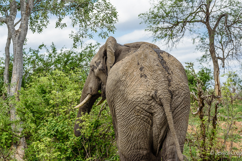 Elephant Rear View