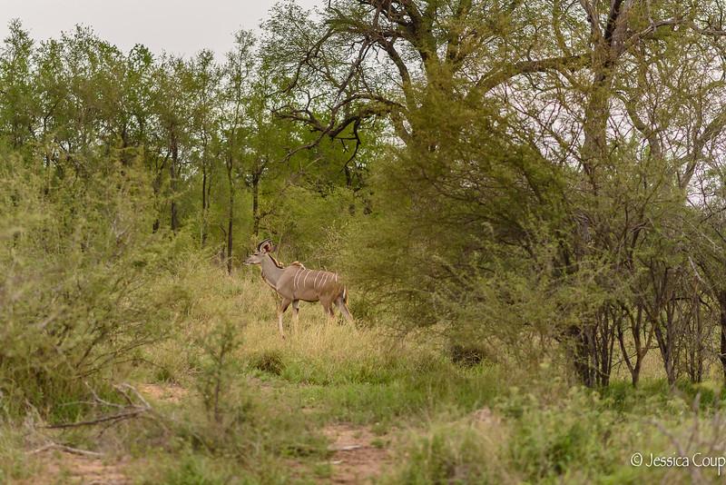 Male Kudu Passing Through
