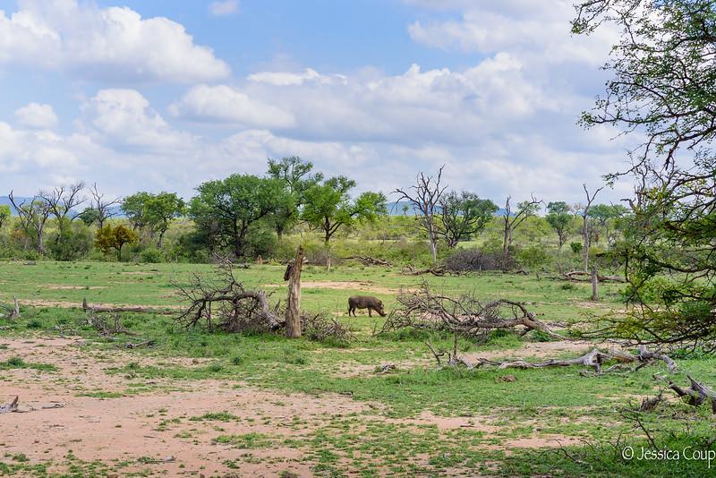 Warthog Grazing in the Savanna