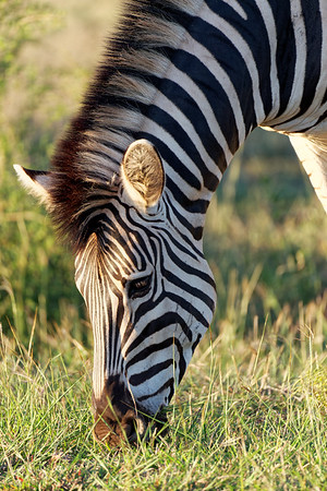 Zebra, Kruger National Park