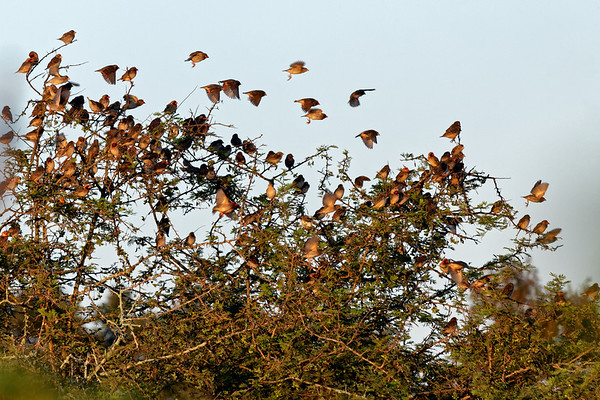red-billed quelea, the most populous bird in Africa. There are 30 million in the Kruger Park alone.