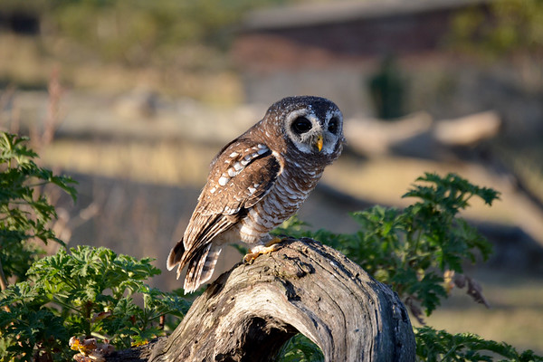 Perched wood owl