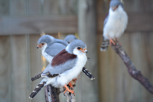 Fluffy falcons