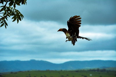 Hornbill coming in for a landing