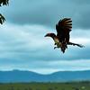 Hornbill coming in for a landing