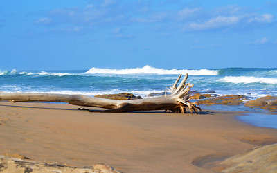 Large uprooted tree on the beach
