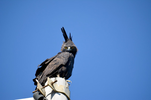 Eagle on a lamppost