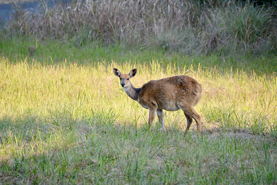 Female bush buck