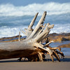 Uprooted tree on the beach