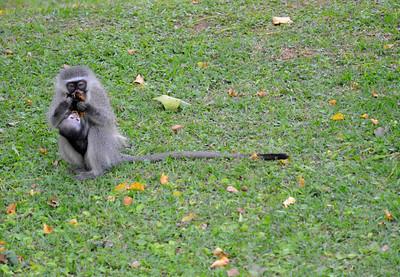 Vervet monkey and her baby
