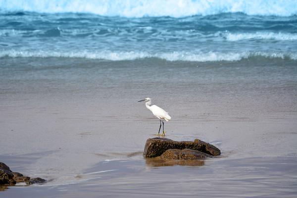 Hungry Egret