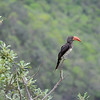 Hornbill overlooking the gorge