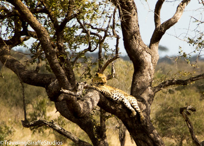 Leopard in a tree