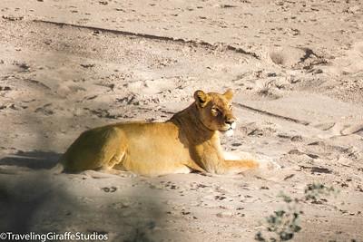 Lion - Kruger National Park