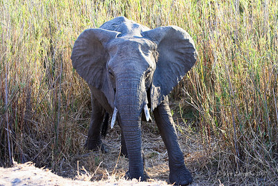 Male Elephant showing signs of displeasure about our presence. The extended rigid ears