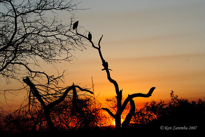 Sunset over the Mala Mala Game Reserve, Vultures settling down for the night