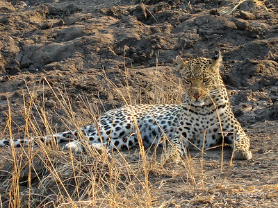 Young female Leopard alongside the road, blending in with the grasses