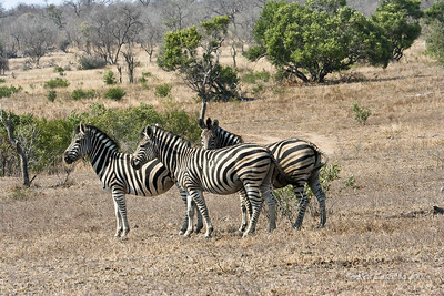 A trio of Burchell's Zebra. Notice the brown stripe between the black stripes.